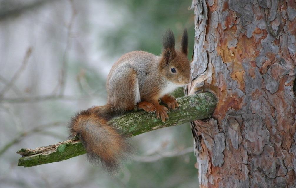 树枝上的松鼠