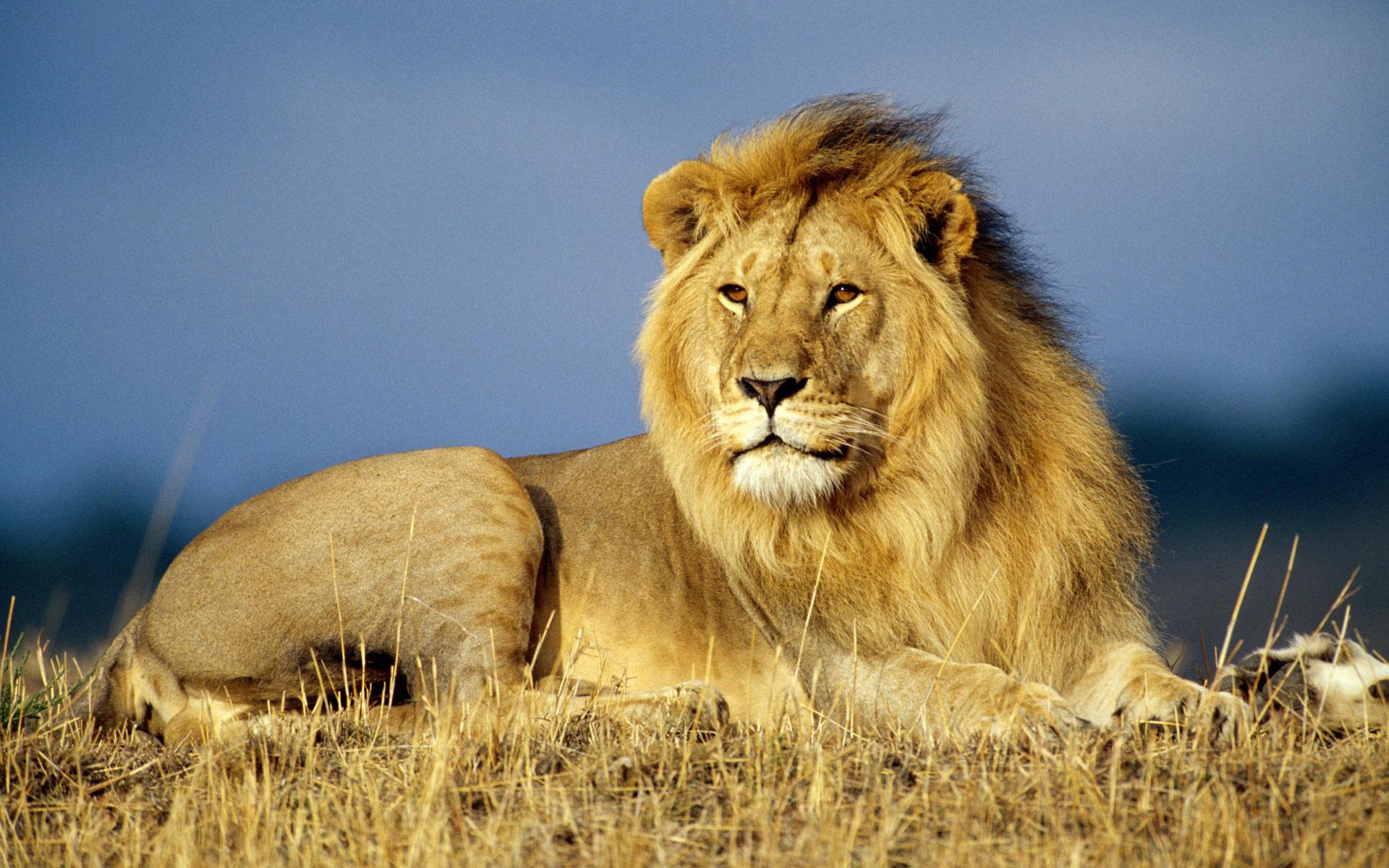壁纸/三年级语文上册:28 狮子和鹿的图片素材...