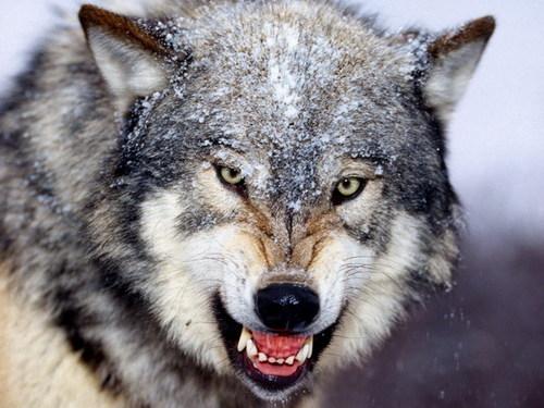 狼图片素材02