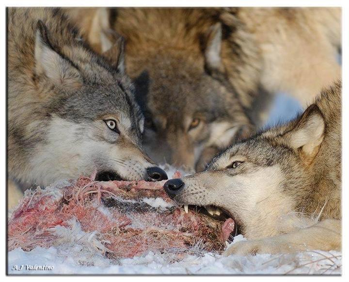 狼图片素材04