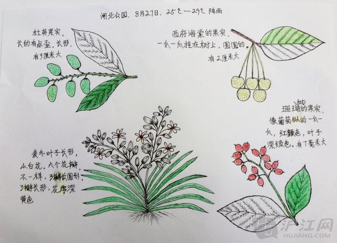 小学自然笔记:果红似火——婆婆的自然笔记(二一)