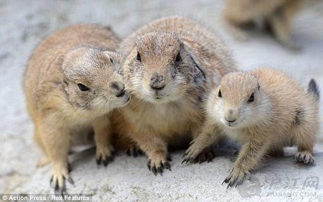 萌物一家人:德国动物园可爱土拨鼠群照