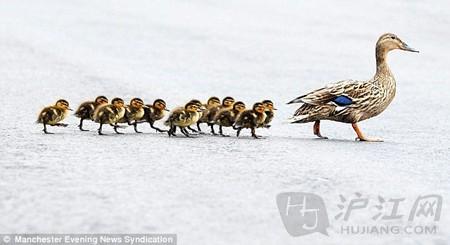 萌物有爱瞬间:鸭妈妈带小鸭子们过马路(转载) - 快乐一兵 - 126jnm5626 的博客