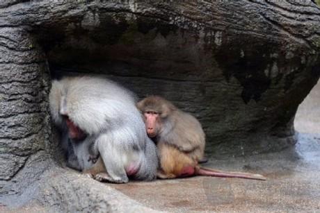 动物园狒狒进行神秘静坐活动