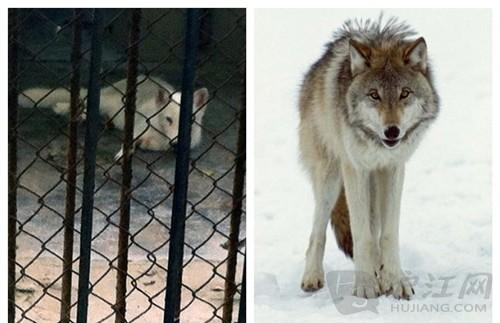 奇葩!动物园用藏獒冒充非洲狮