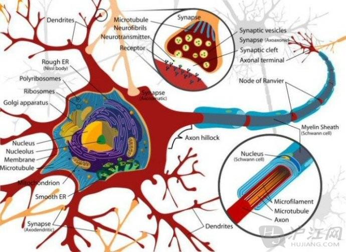 思维导图图来源大脑神经系统