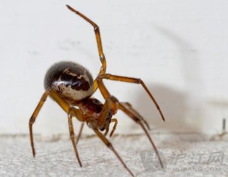 国产动画片大全_毒蜘蛛伪黑寡妇正在英国蔓延
