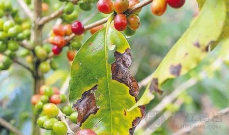 德语新闻 咖啡锈病——咖啡豆致命真菌