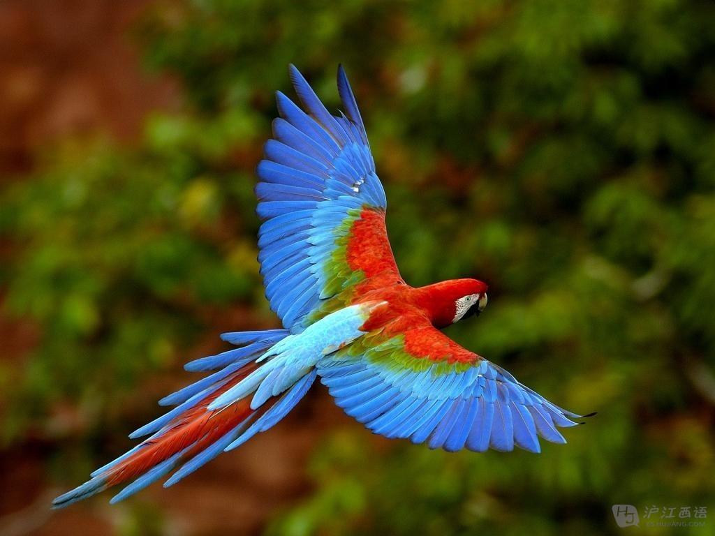 金刚鹦鹉生活在茂密的亚马逊丛林里,如果你在南美的动物园中看到七八只金刚鹦鹉并没有被关在笼中,但也不飞走,不要奇怪,那是因为它们是非常有爱的群居动物,工作人员会修剪其中一只鹦鹉的翅膀让它不能飞得太远,而他的朋友们不会因此抛弃它,而是会守在他身边陪伴它。 第三位:CONDOR 秃鹫
