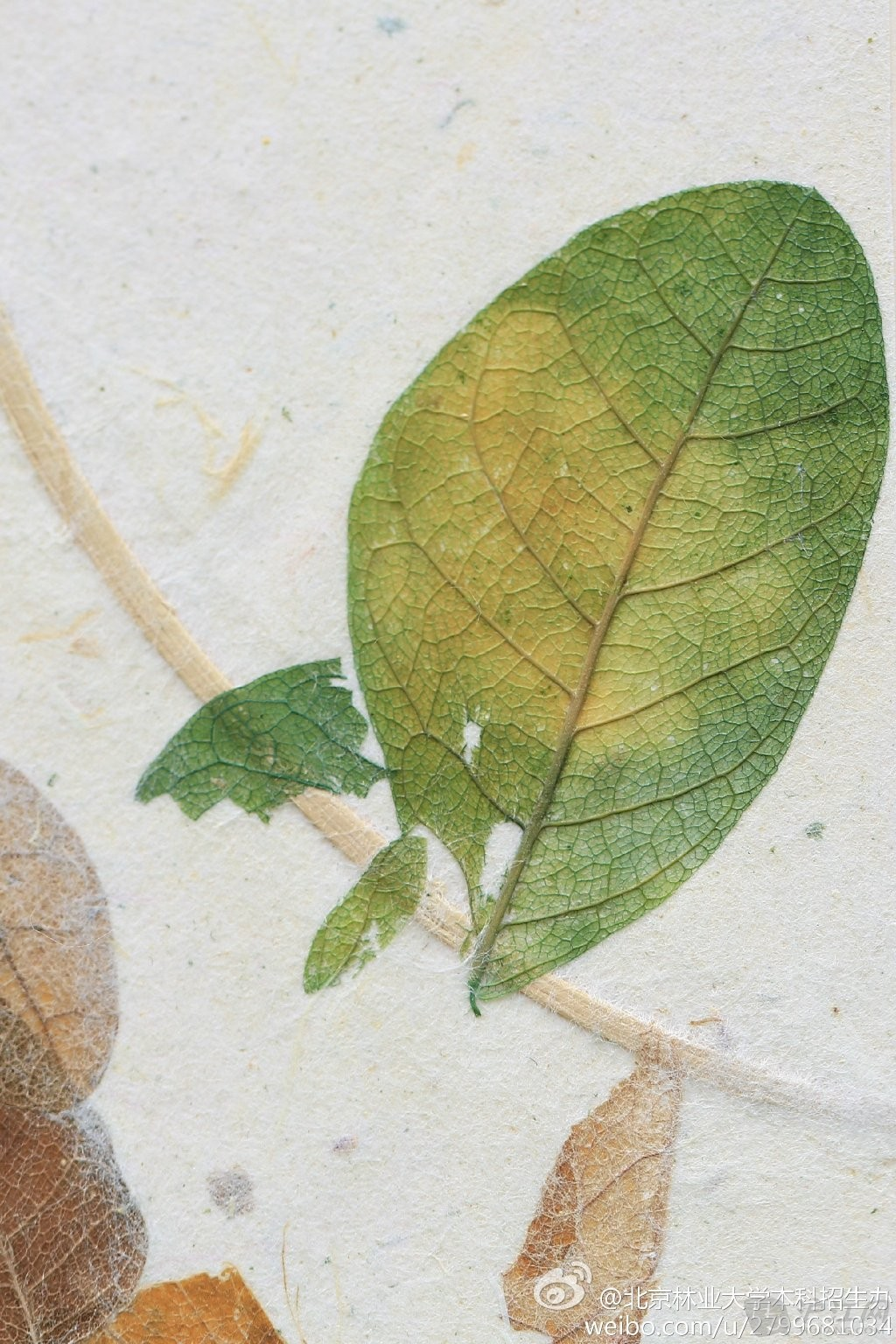 植物标本嵌入北林录取通知书
