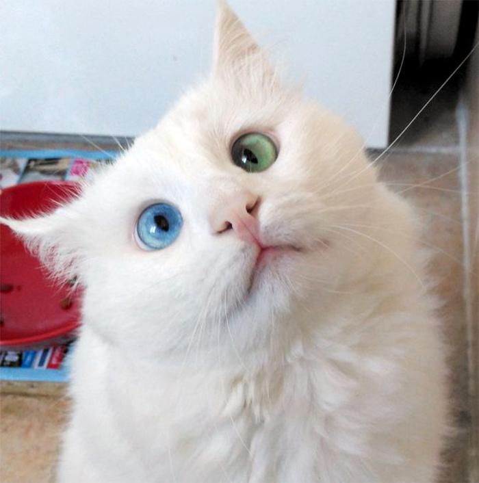 a体操体操的土耳其猫:艺术异色瞳+斗鸡眼(图)俄罗斯美女蓝绿网络图片