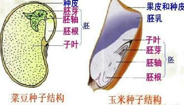 菜豆种子和玉米种子的结构如图所示