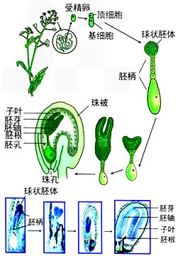 荠菜胚的发育过程