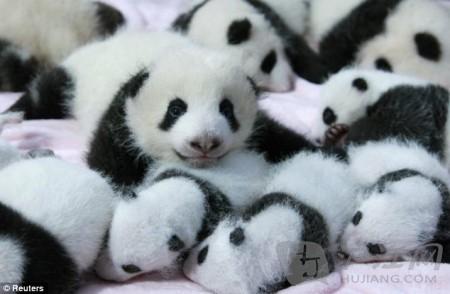 萌物瞬间:14只大熊猫宝宝初亮相