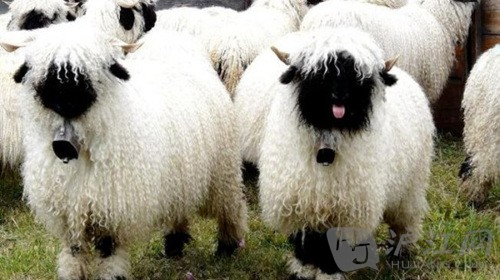 2015考研国家线 新一代萌物来袭 瓦莱黑鼻羊